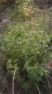Wild Oregano (Monarda) stand harvested form the Mountains of New Mexico