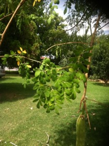 Moringa Leaf allows you to boost energy, virility, male potency, metabolism, cell structuring, serum cholesterol, liver & kidney health as well as increasing the bodies defense. Moringa has been known to help with cancer, diabetes, birth control, headaches, epilepsy, asthma, heart problems, high blood pressure, anemia, thyroid disorders, kidney stones, stomach issues such as; ulcers, intestinal spasms, diarrhea & constipation.