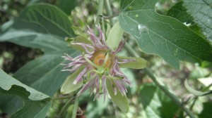 Passion Flower (Passionfloar Mexicana)4