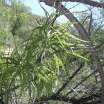 Desert Willow (Chilopsis linearis)