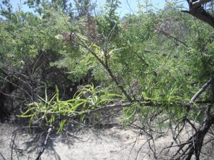 Desert Willow2