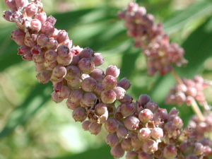 vitex_berries