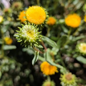 gumweed or gridelia sticky buds